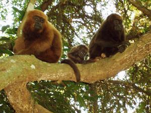 Familia de bugios - animais ameaçados de extinção